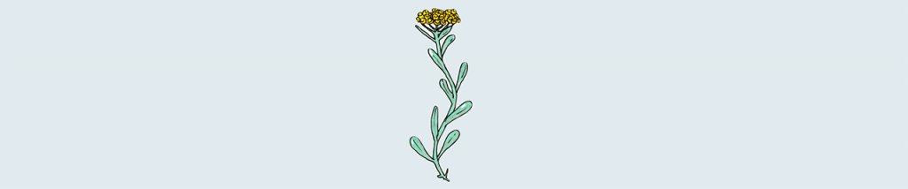 L'huile essentielle d'Hélichryse italienne